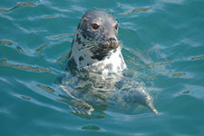 Seal at Rockham Bay